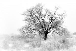 Old Tree in Fog